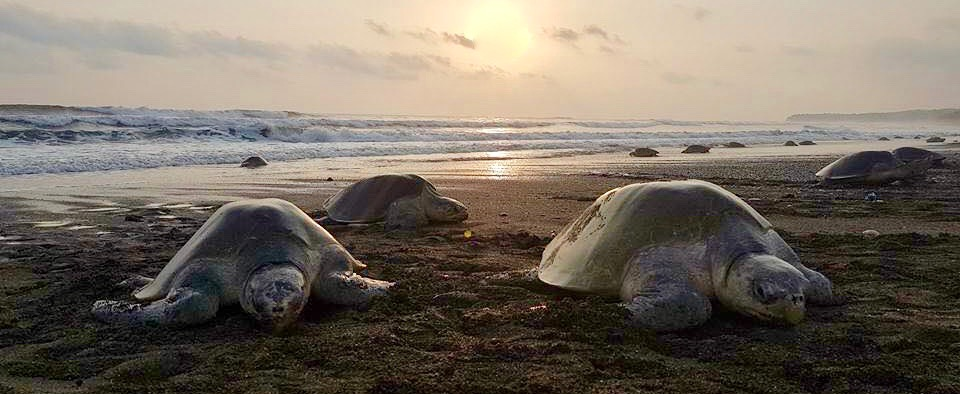 Turtles_ostional_costarica